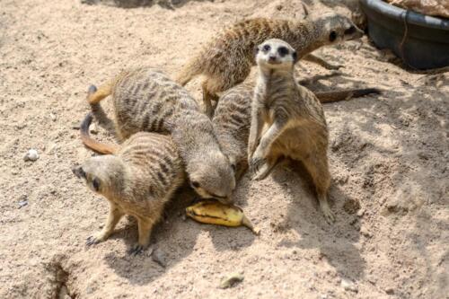сурикаты, meerkats, animals, бесплатное, красивое, фото животные, DSLR, camera, photo, free download
