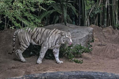 Бенгальский тигр, tiger, бесплатное, красивое, фото, DSLR, camera, photo, free download