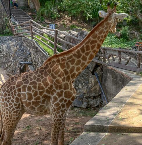giraffe, жираф, бесплатное, красивое, фото, DSLR, camera, photo, free download