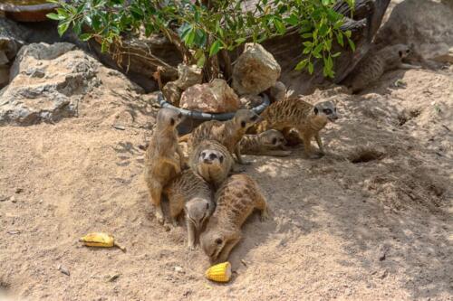 meerkats бесплатное, красивое, фото, DSLR, camera, photo, free download