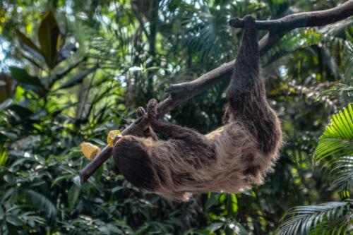 sloth, ленивец, branch, бесплатная фотка, красивая фотография, photo for free