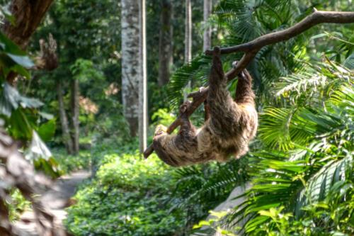 sloth, ленивец, branch, ветка, бесплатное, красивое, фото, DSLR, camera, photo, free download