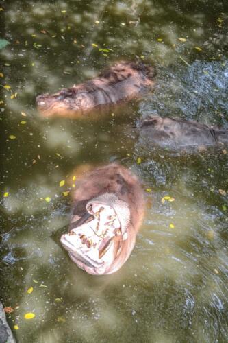 hippopotamus, бегемот, вода, water, рычит, бесплатное, красивое, фото, DSLR, camera, photo, free download