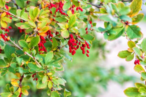 Осенний урожай ягод