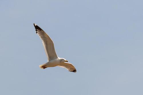 чайка, gull, бесплатное, красивое, фото, DSLR, camera, photo, free download