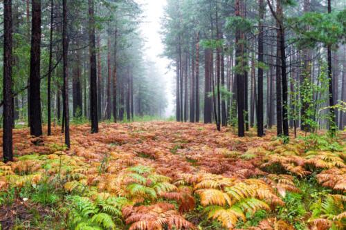 поляна папоротника осенью