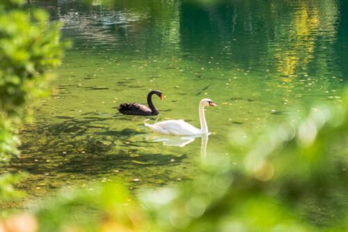 Black swan, лебедь, черный лебедь, белый лебедь, lake, озеро, бесплатная фотка, красивая фотография, photo for free