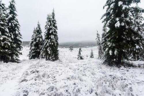 Ели в снегу в сентябре, тайга
