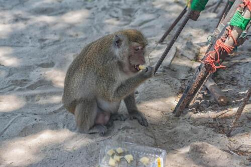 Monkey eats on the sand
