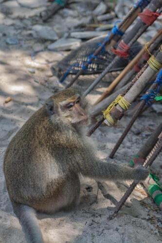 Мудрый взгляд мартышки, Тайланд