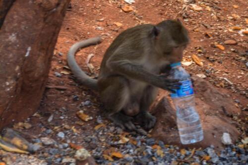 Обезьяна пьет кока-колу, Таиланд