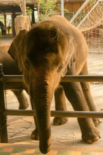 Милый слоненок, Таиланд