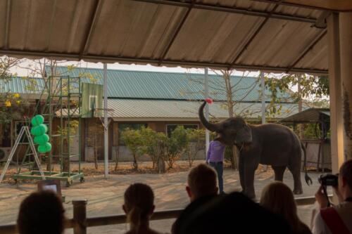 Слон попадает дротиком в надувные шарики