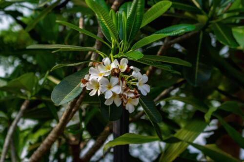 Плюмерия - цветок, символ Таиланда