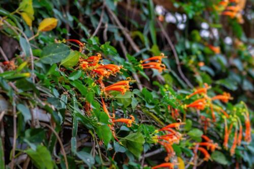 Эхинодорус сердцелистный в Таиланде