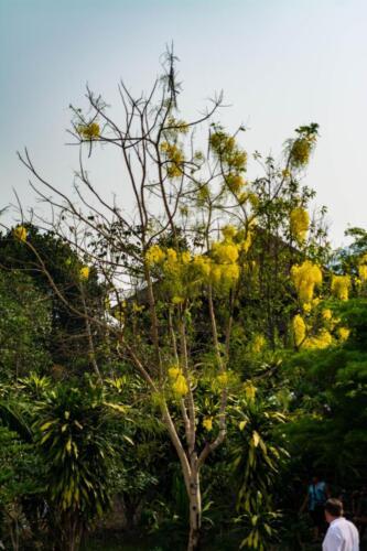 Кассия трубчатая/золотое дерево/ золотой дождь.Дерево в Таиланде высотой до 5-20 м.