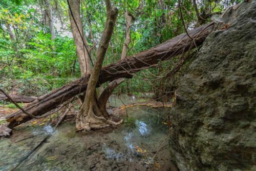 Упавшее в ручей дерево, застряло в разветвлении другого дерева