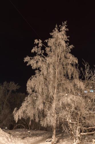 Береза в сильные морозы зимой в Иркутске