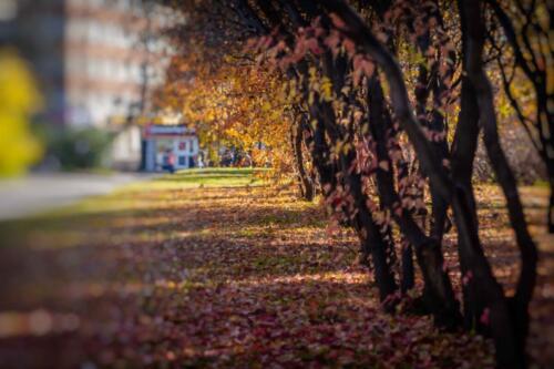 Аллея желтой листвы